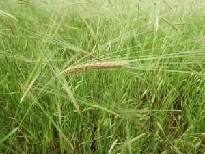 Pre-Aviv, Jordan Valley, barley, vegetative state, grass, flowering stage, Aviv, 12th Hebrew month, new moon, Hebrew year, Nehemia Gordon, Hebrew, Yehovah, yhvh