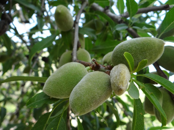 Almond branch in the Valley of Elah. Photo by Nehemia Gordon.